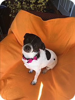 Jack Russell Terrier/Cairn Terrier Mix Dog for adoption in Glendale, Arizona - DAISY MAE