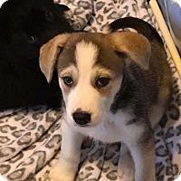 Adopt A Pet :: Wynona - Chico, CA
