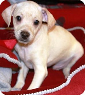 Chihuahua/Dachshund Mix Puppy for adoption in Gilbert, Arizona - Footloose