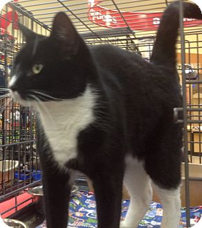 Domestic Shorthair Cat for adoption in Modesto, California - Bandit