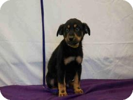 Rottweiler Mix Puppy for adoption in Largo, Florida - Igor