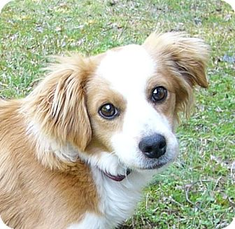 Spaniel (Unknown Type)/Sheltie, Shetland Sheepdog Mix Dog for adoption in Mocksville, North Carolina - Rooster