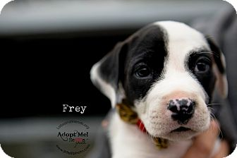 Rat Terrier/Boxer Mix Puppy for adoption in Burbank, California - Frey - 8 wk old pup!