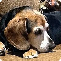 Adopt A Pet :: Penny - Novi, MI