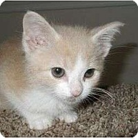 Adopt A Pet :: Bitsy - Reston, VA