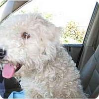 Adopt A Pet :: Miss Lucy - chandler, AZ