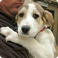 Adopt A Pet :: Snowball - white settlment, TX