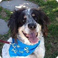 English Setter/English Springer Spaniel Mix Dog for adoption in Canoga Park, California - Lennie