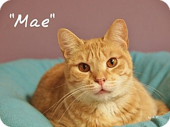 Domestic Shorthair Cat for adoption in Ocean City, New Jersey - Mae