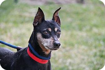 Miniature Pinscher Mix Dog for adoption in Belle Chasse, Louisiana - Shirley