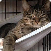 Domestic Shorthair Cat for adoption in Freeport, New York - Rebel