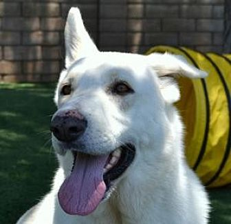 German Shepherd Dog Dog for adoption in San Diego, California - Elvis