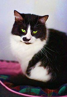 Domestic Mediumhair Cat for adoption in Markham, Ontario - Sylvie