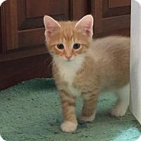 Adopt A Pet :: Salsa - Herndon, VA