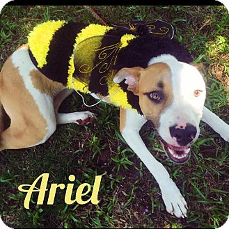 American Pit Bull Terrier/German Shepherd Dog Mix Dog for adoption in Fayetteville, North Carolina - Ariel