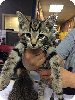Domestic Shorthair Kitten for adoption in Saginaw, Michigan - Homer