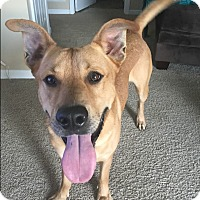 Labrador Retriever Mix Dog for adoption in Hainesville, Illinois - Alex