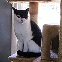 Domestic Shorthair Cat for adoption in Rockaway, New Jersey - Souka