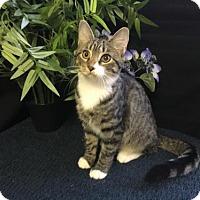 Domestic Shorthair Kitten for adoption in Fayetteville, Georgia - Delta