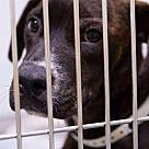 Adopt A Pet :: Buster Brown