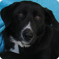 Labrador Retriever Mix Dog for adoption in Cuba, New York - Jenny Emma