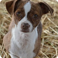 Adopt A Pet :: Cinnamon - Vacaville, CA