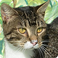 Domestic Shorthair Cat for adoption in Englewood, Florida - Mischa