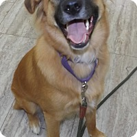 Shepherd (Unknown Type) Mix Dog for adoption in Orleans, Vermont - Willow Red