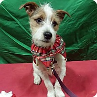 Fox Terrier (Wirehaired)/Terrier (Unknown Type, Small) Mix Puppy for adoption in Detroit, Michigan - PJ - Pending!