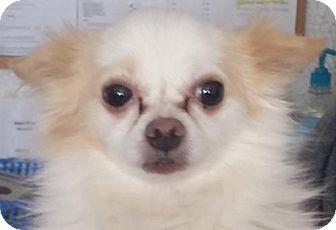 Chihuahua Dog for adoption in Bloomington, Illinois - Conrad