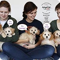 Adopt A Pet :: Dixie's puppies - Sherman Oaks, CA