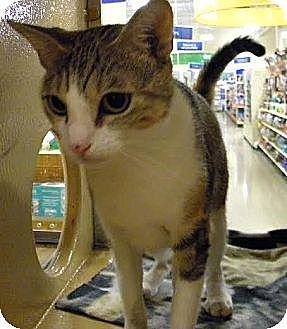 Domestic Shorthair Cat for adoption in Miami, Florida - Lacie