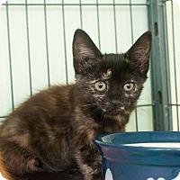 Adopt A Pet :: Tortellini - Shelton, WA