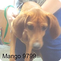 Adopt A Pet :: Mango - baltimore, MD
