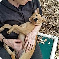 Adopt A Pet :: Charlie - Fair Oaks Ranch, TX
