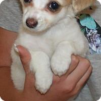 Adopt A Pet :: BENNY - Corona, CA