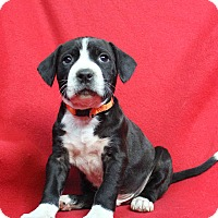 Adopt A Pet :: Azzo - Westminster, CO
