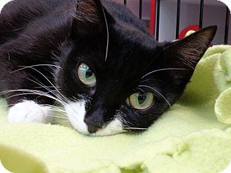 Domestic Shorthair Cat for adoption in Sarasota, Florida - Shanghai
