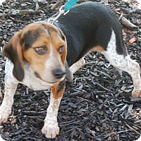 Beagle Dog for adoption in Winder, Georgia - Buttons