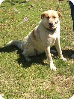 Great Pyrenees/Australian Cattle Dog Mix Dog for adoption in Florence, Kentucky - Freckles Hargrave