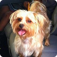 Adopt A Pet :: KoKo AB/CP - Tampa, FL