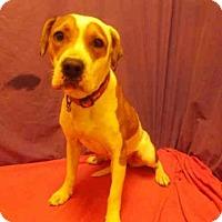 Adopt A Pet :: *KIMBER - Upper Marlboro, MD
