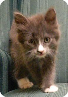 Domestic Shorthair Kitten for adoption in Columbus, Nebraska - Max