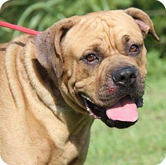 Bullmastiff Mix Dog for adoption in Livonia, Michigan - Boss