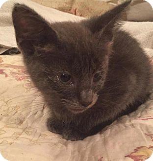 Russian Blue Kitten for adoption in Ocala, Florida - Miss Hank