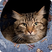 Domestic Longhair Cat for adoption in Wilmington, Delaware - Zuma