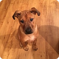 Boxer/German Shepherd Dog Mix Puppy for adoption in Charlotte, North Carolina - Penny