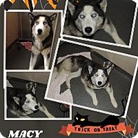 Adopt A Pet :: Macy - Ringwood, NJ