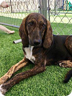 Plott Hound/Coonhound Mix Dog for adoption in Garner, North Carolina - Matilda