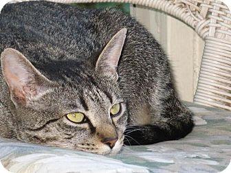 Domestic Shorthair Cat for adoption in Marietta, Georgia - Winnie